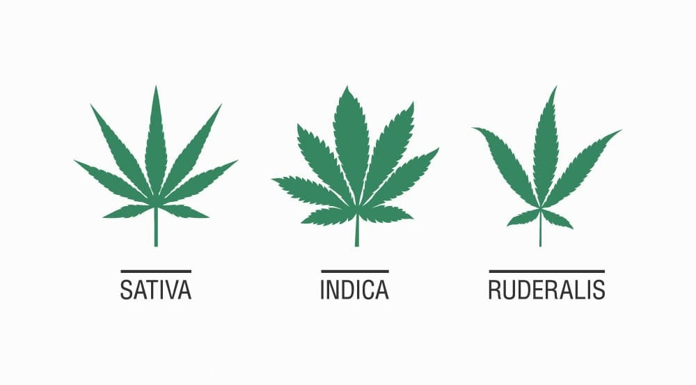 the cannabis plant, and the three main varieties of the plant include the Indica variety, Sativa and Ruderalis