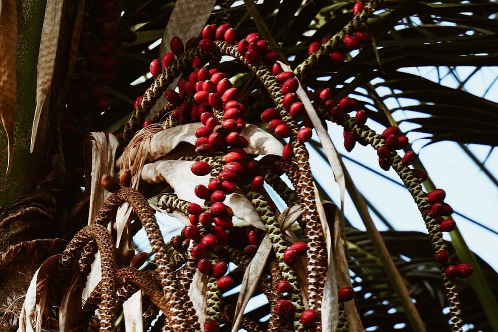 Palm carrier oil